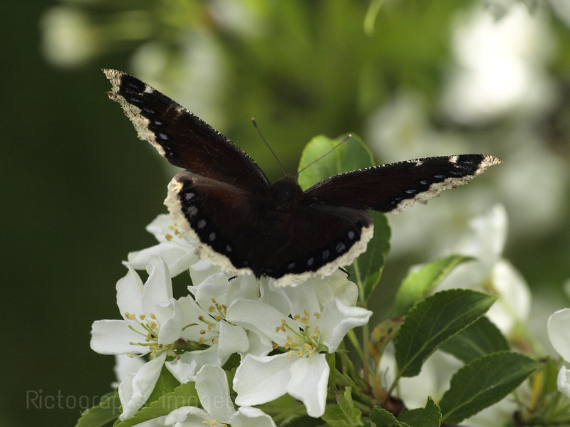 Apple Blossoms & Butterfly