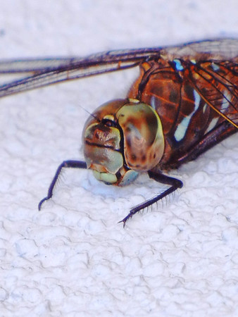A Dragonfly Having A Rest