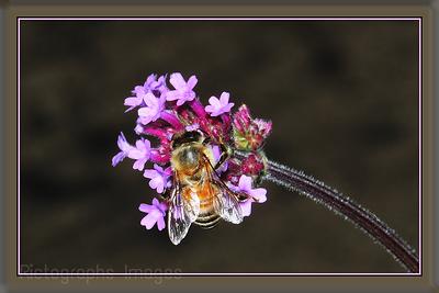 Rare Honey Bee Gathering Nectar & Pollen