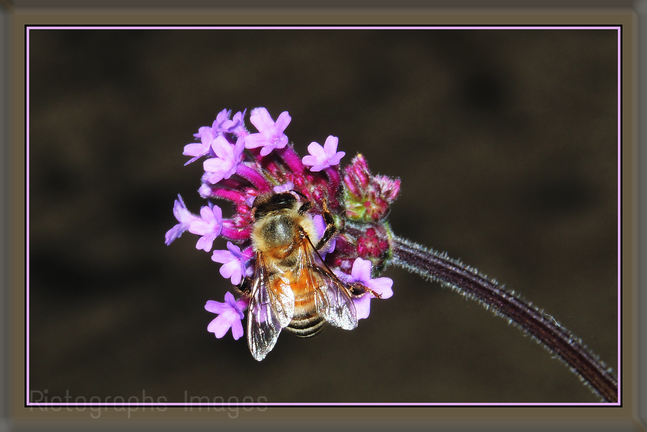 Rare Honey Bee Gathering Nectar & Pollen
