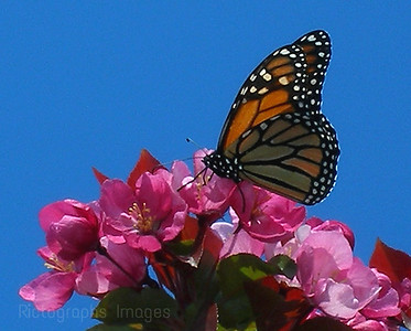 Butterfly & Apple Blossoms