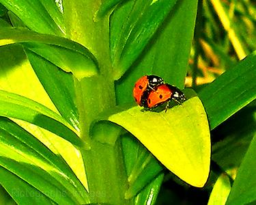 Lady Bird Beetles