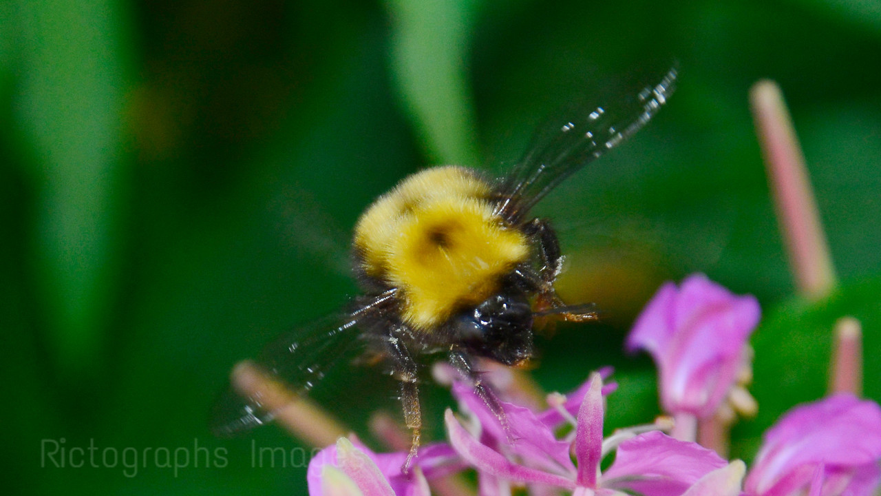 A Bumble Bee Gathering Nectar From Wildflowers