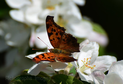 A Butterfly On Apple Blossoms