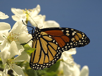 Butterfly, Imbibing Nutrients from Apple Blossoms.