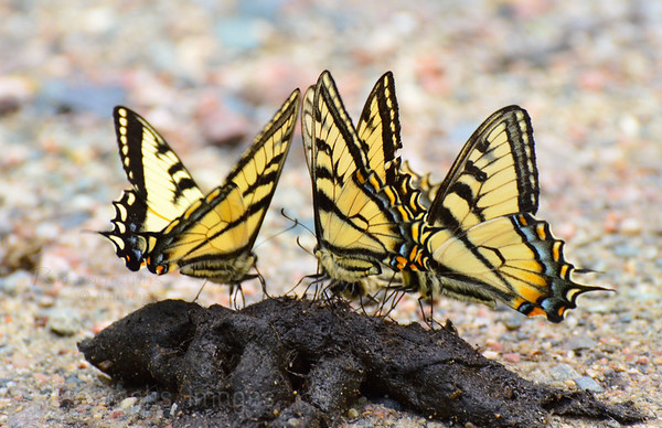 Swallowtail Butterflies Imbibing Nutrients From Scat