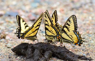 Swallowtail Butterflies Imbibing Nutrients From Scat