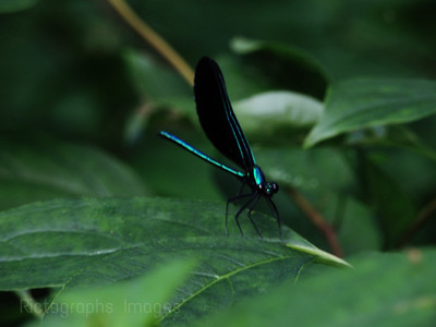 a Damselfly Grand Bend, 2015 (97)