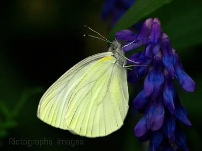 Butterfly on Vetch