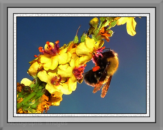Garden, Bumble Bee, Rictographs Images Sized to Print 8 X 10in