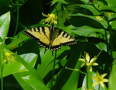 Swallowtail Butterfly Imbibing Nutrients