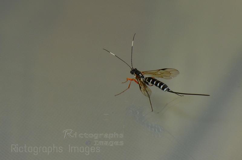 Hymenoptera, Wasp