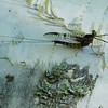 Mayfly,