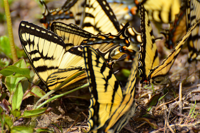 Tiger Swallowtail Butterflies, Gather at The Edges of Puddles To Imbibe Salts and Other Nutrients.
