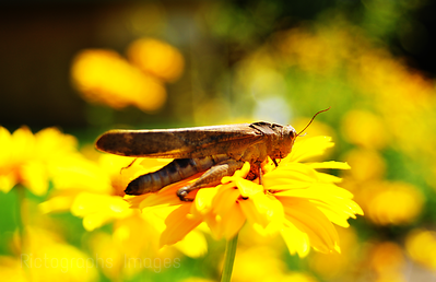 Grasshopper & Yellow Garden Flower