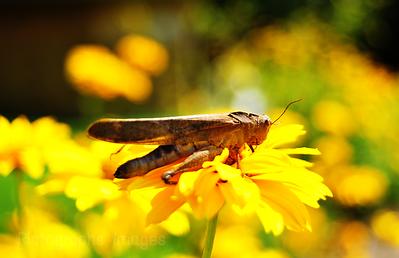 Grasshopper & Yellow Garden Flower