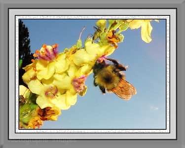 Bumble Bee, Rictographs Images Sized to Print 8 X 10in