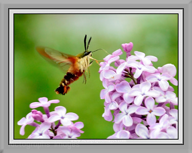Lilac & Hawk Moth, Rictographs Images