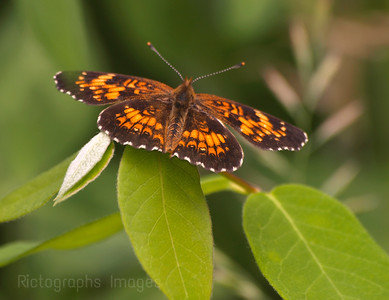 Butterfly Boreal Forest