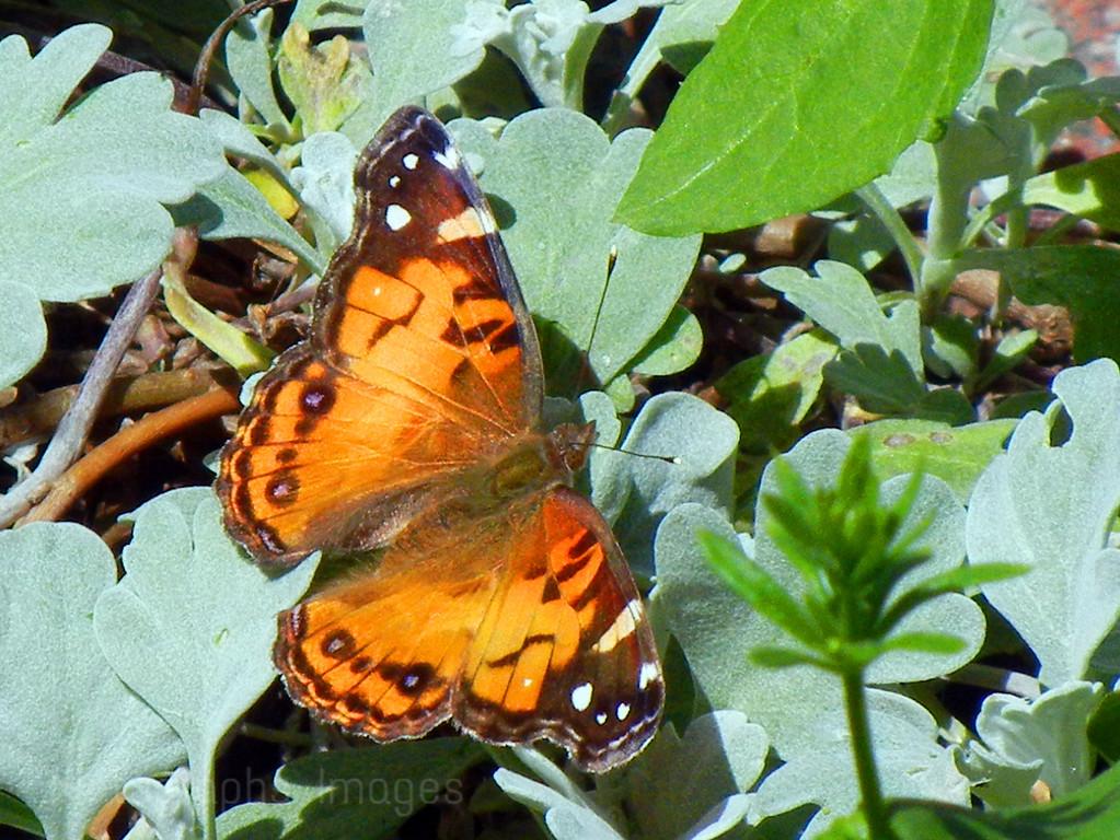 Orange & Black Butterfly