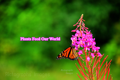 Monarch & Fireweed, Rictographs Images