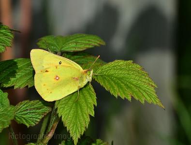 Sulphur Butterfly, on Raspberry Shrubs