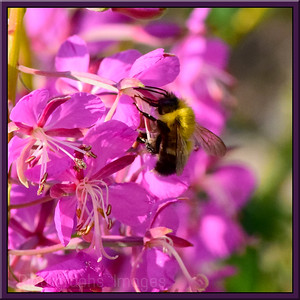Bee Gathering Pollen, Rictographs Images