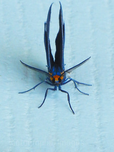 Colorful Moth Looking For A Place To Lay Eggs