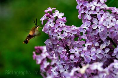 Hawk Moth, & Lilacs