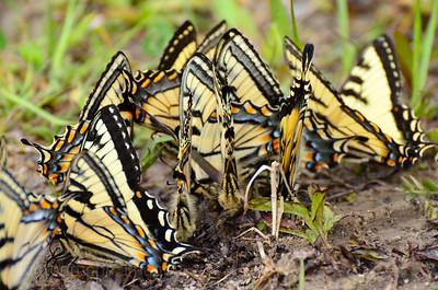 Butterflies Imbibing Salts