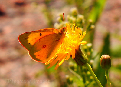 Sulphur Yellow Butterfly