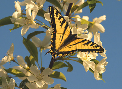 Swallowtail Butterfly 6654