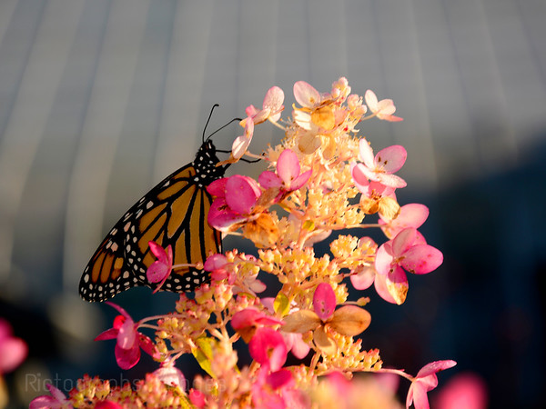 A Butterfly In The Urban Garden, Rictographs Images