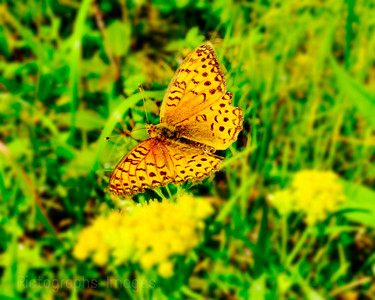 Beautiful Butterfly, Out in the Feild,