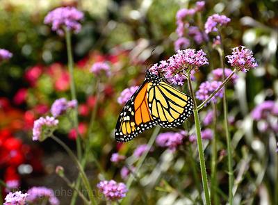 A Butterfly in The Garden