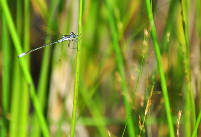Nature, photography, green, 2011, Blue, Animal, Insect, Damselfly, Reeds, 947