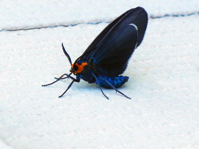 Blue, Black, Orange, Moth,