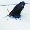 Blue, Black, Orange, Moth,
