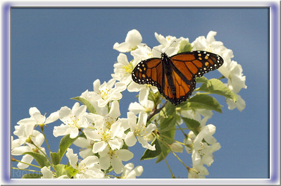 Butterfly Feeding on apple Blossom Nectar