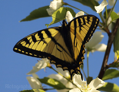 Swallowtail Butterfly, Imbibing Nutrients from Apple Blossoms