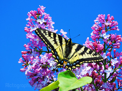 Lilacs & A Swallowtail Butterfly, 2021