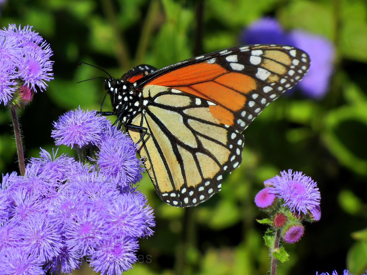 A Butterfly Imbibing Nectar From Garden Flowers