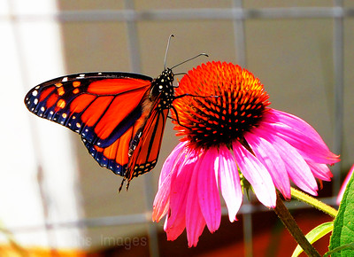 A Monarch Imbibes Nectar, 2021