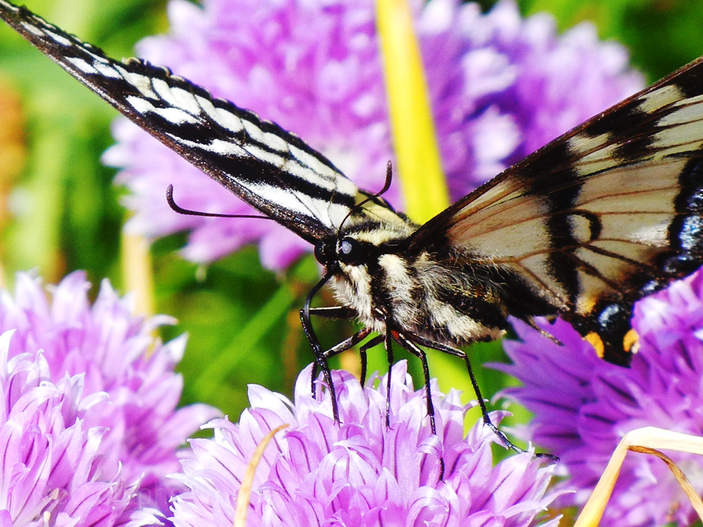 Butterfly On Chives; Ric Evoy & Rictographs Images