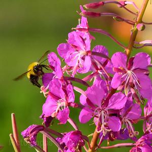 Bumble Bee Bumbling,