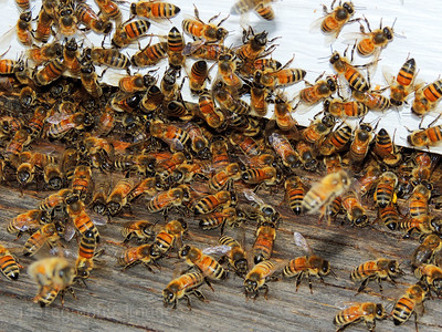 Busy Bees At The Hive