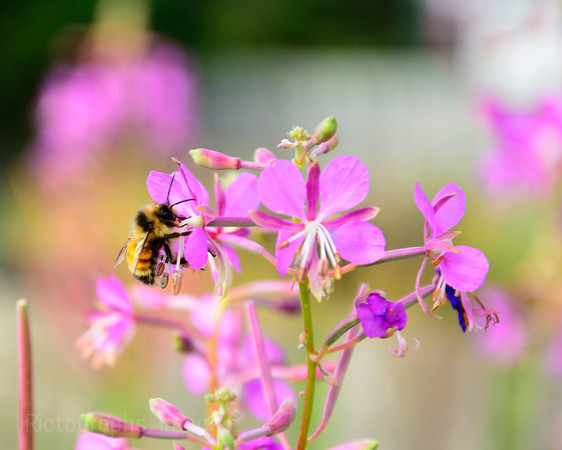 Bumble Bee Harvesting Nutrients,
