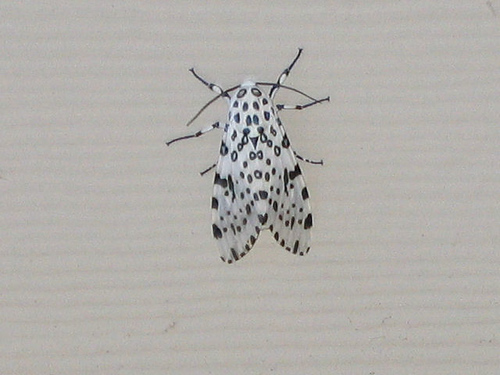 Black and white moth (138_3821)