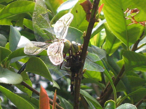 A large green dragonfly sitting in the bushes chewing on the decapitated body of slightly smaller black dragonfly (141_4129)