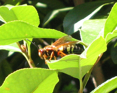 Close-up of a cicada-killer wasp sitting on a leaf (145_4507)